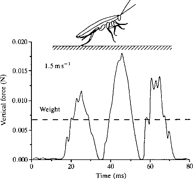 Fig. From Mechanics of a rapid running insect: two-, four- and six-legged locomotion