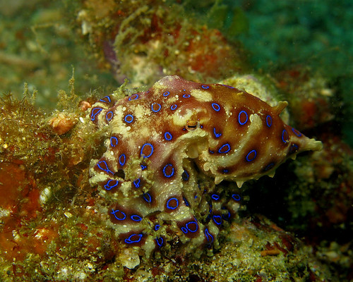 """Blue-ringed Octopus"" by Stephen Childs"