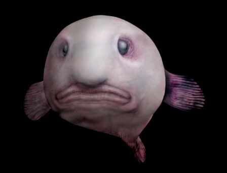 Blobfish de face