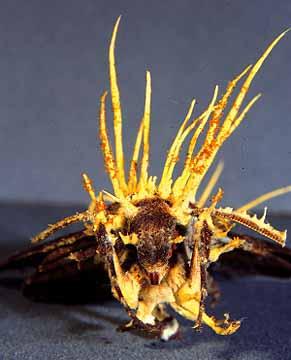 Cordyceps Tuberculata