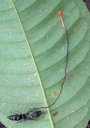 Cordyceps australis