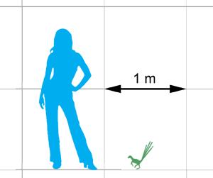 Echelle entre un humain et Epidexipteryx