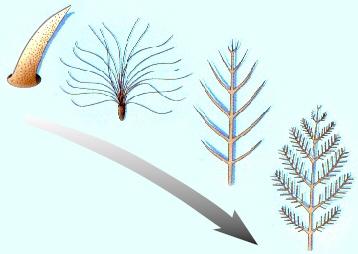 Modèle de l'histoire évolutive des plumes
