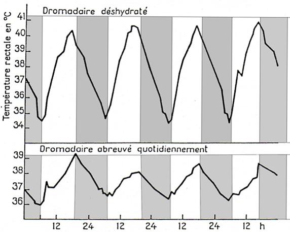 Poïkilothermie du Dromadaire