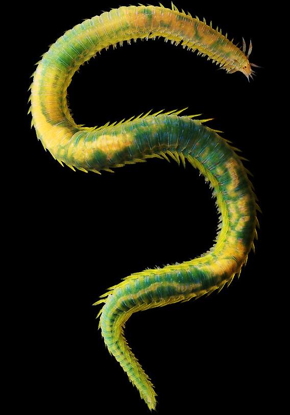 Eulalia viridis, Alexander Semenov
