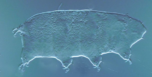 Archechiniscus biscaynei Miller et al 2012