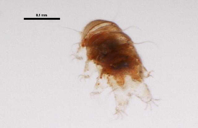 Echiniscus testudo