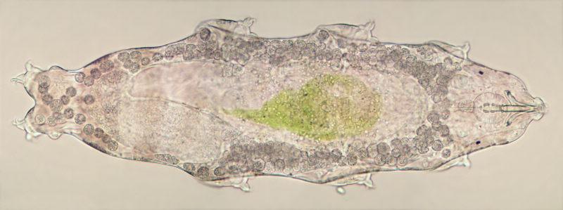 Macrobiotus hufelandi
