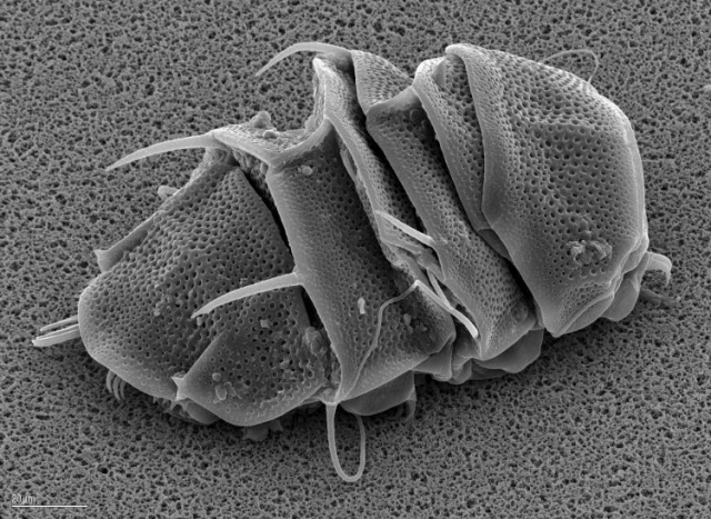 Tardigrade en cryptobiosejpg