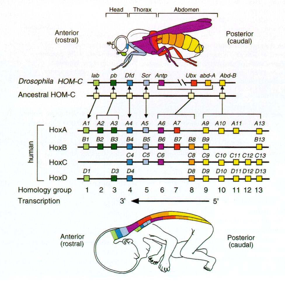 gènes hox