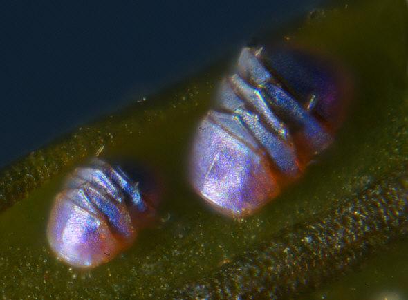 Tardigrades en cryptobioses