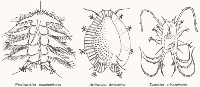 Neostygarctus acanthophorus, Actinarctus doryphorus et Tanarctus arborspinosus