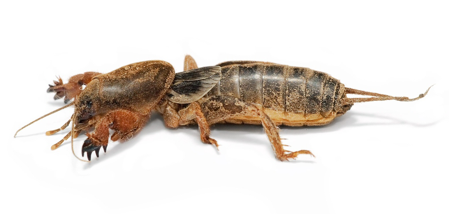 Mole_cricket02.jpg