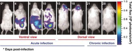 Localisation de parasites artificiellement luminescents chez des rats infectés