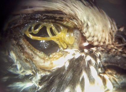Oxyspirura petrowi, dans l'oeil d'une caille