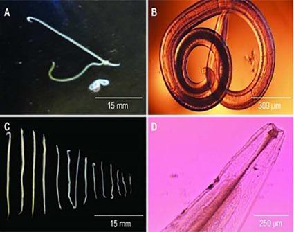 Oxyspirura petrowi, Kendall et al., 2014