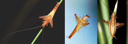 Saltoblattella montistabularis