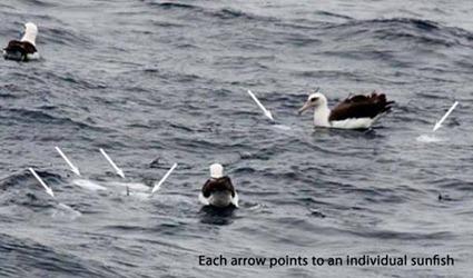 Albatros et Mola mola