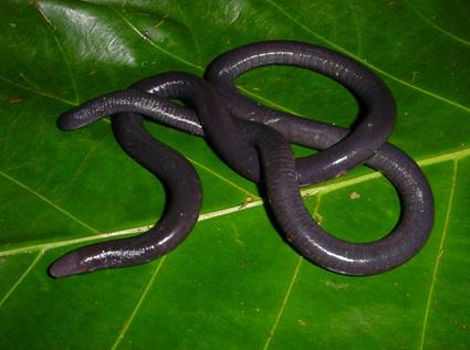 Caecilia orientalis