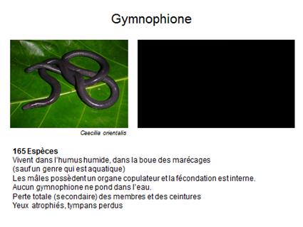 Gymnophione