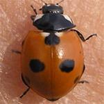 Coccinella-quinquepunctata-03