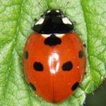 Coccinella-septempunctata-01