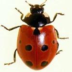 Coccinella-undecimpunctata-02