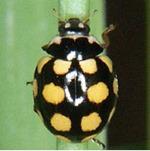 Coccinula-quatuordecimpustulata-01