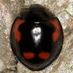 Exochomus-quadripustulatus-02