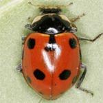 Hippodamia-undecimnotata-01