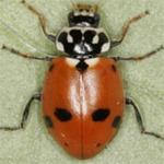 Hippodamia-variegata-03