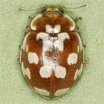 Myrrha-octodecimguttata-01