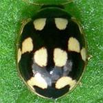 Propylea-quatuordecimpunctata-09