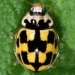 Propylea-quatuordecimpunctata-12