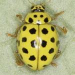 Psyllobora-vigintiduopunctata-01