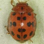 Subcoccinella-vigintiquatuorpunctata-01