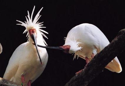 Ibis nippon (Nipponia nippon)
