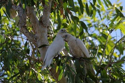 Cacatoès corella (Cacatua sanguinea)