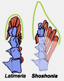 Comparaison du squelette de la nageoire charnue de Latimeria chalumnae et de Shoshonia arcopteryx, fossile du Dévonien moyen (environ – 380 Ma)