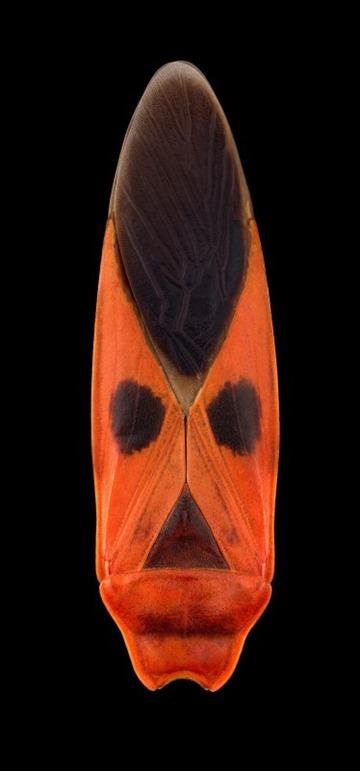 Macroceroea grandis, Thailand, Pascal Goet