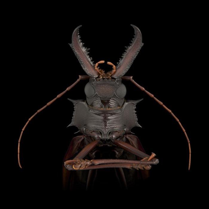 Macrodontia cervicornis, Guyana , Pascal Goet