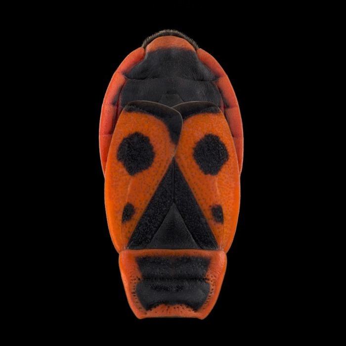 Pyrrhocoris apterus, Pascal Goet