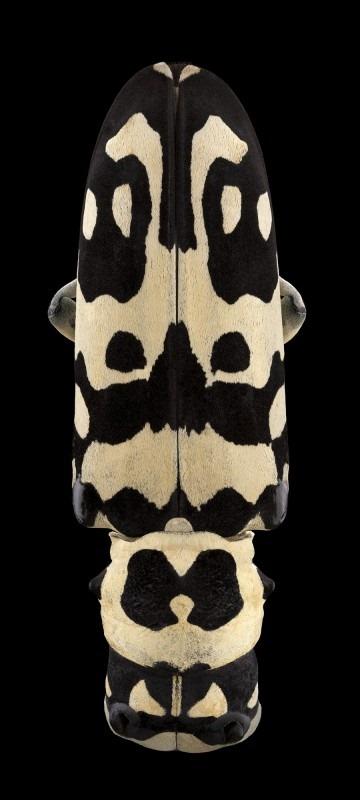 Trago - Tragocephala crassicornis, Madagascar, Pascal Goet