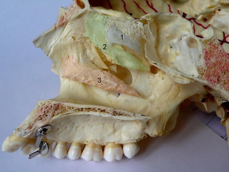 Cornets Nasaux, Crâne