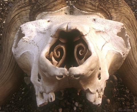 Cornets nasaux de mouton, coupe coronale (2)