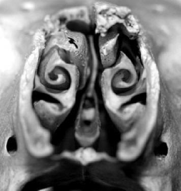 Cornets nasaux de mouton, coupe coronale