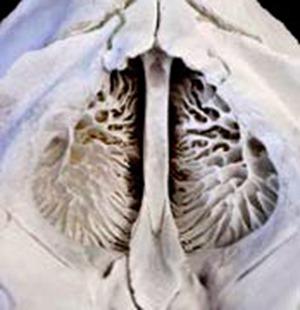 Cornets nasaux de phoque à capuchon (2)
