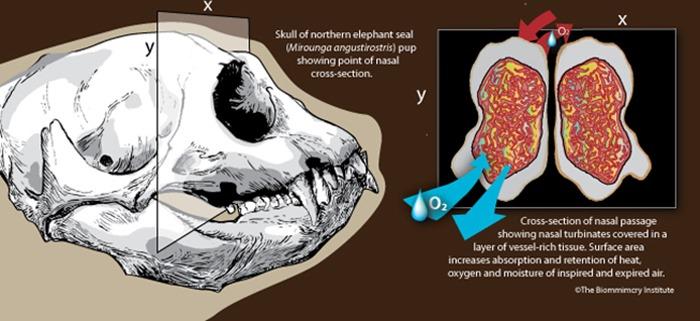 Fonctionnement des cornets nasaux d'éléphants de mer