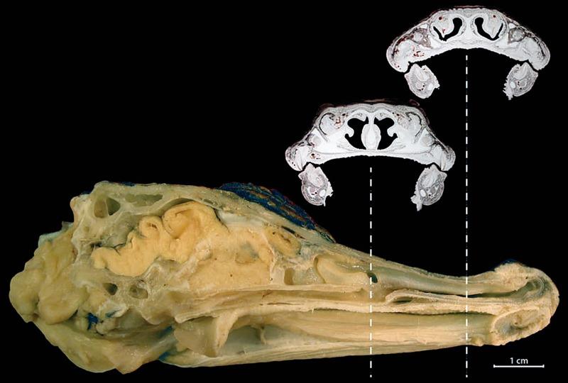 Coupe sagittale alligator