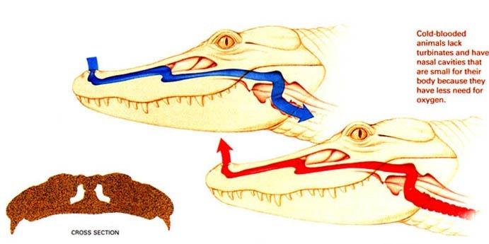 Protoconches d'alligators
